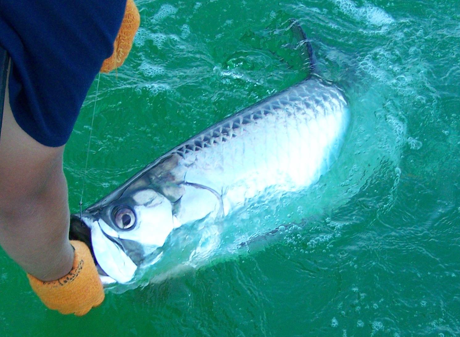 Tarpon fishing marathon florida keys captain chris johnson for Live bait fishing