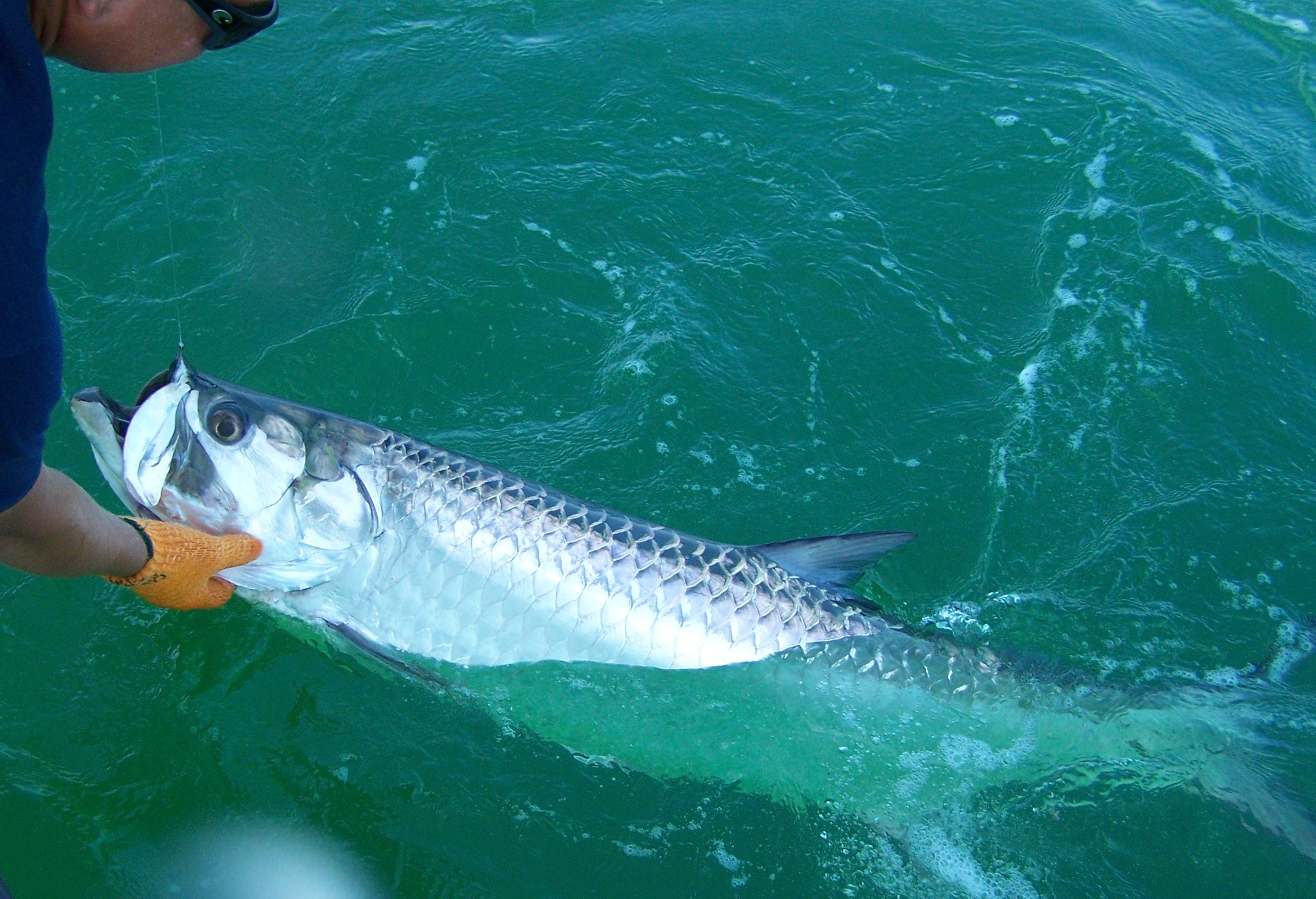 Pictures of tarpon fishing in marathon and the middle for Tarpon fish pictures